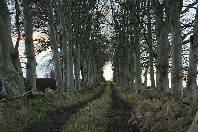 Avenue leading to woodland south of Mains of Inveramsay.
