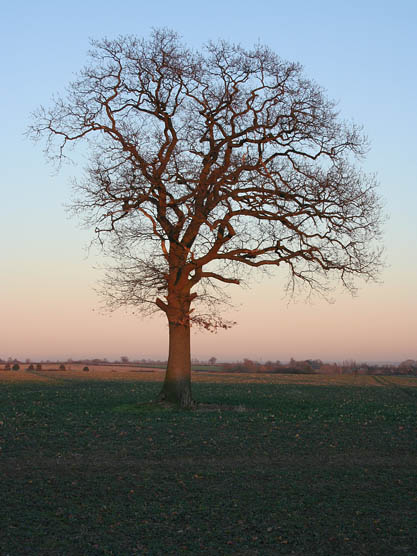 Lone tree in the Lincolnshire countryside
