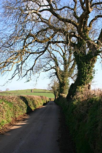 Winter Oaks along a Country Lane