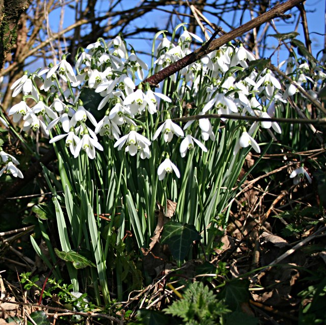Snowdrops in the Hedge Bottom