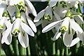 SX3683 : Snowdrop Flowers by Tony Atkin
