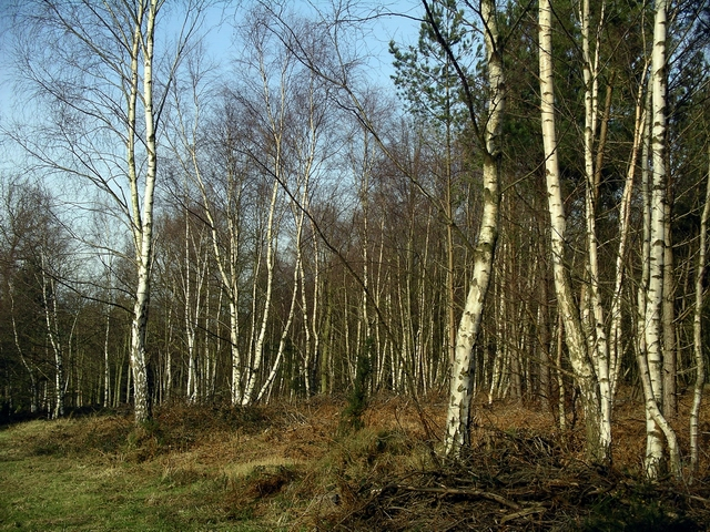 Silver Birches, Sherwood Pines