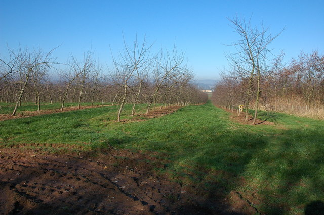 Orchard at Upper Chadnor