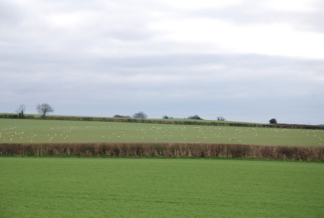 Sheep grazing near Shapwick
