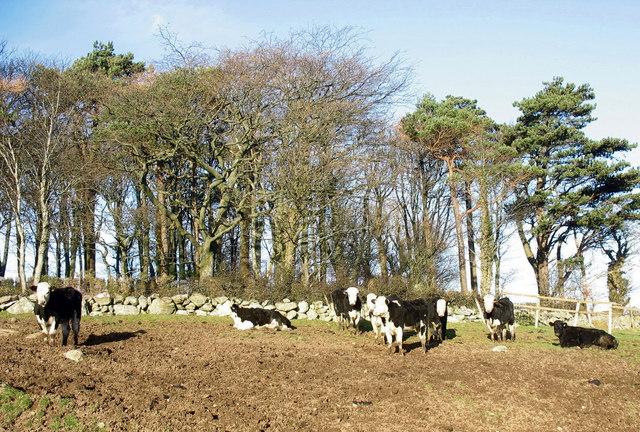 Cattle on path near Pen Dinas