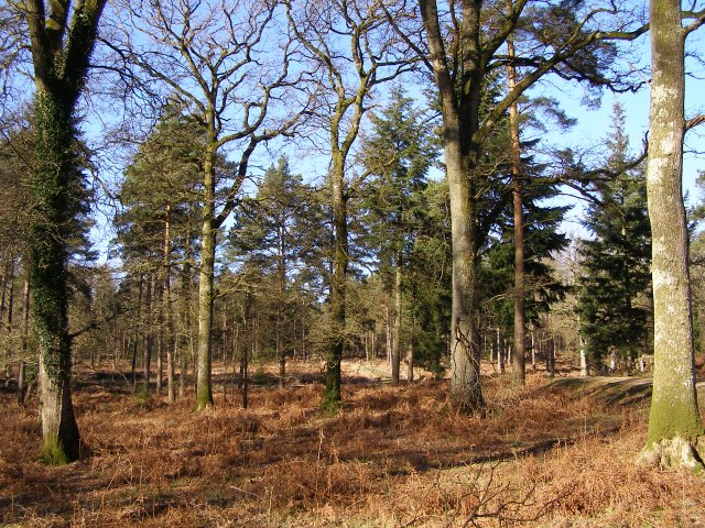 Trees in Milkham Inclosure, New Forest