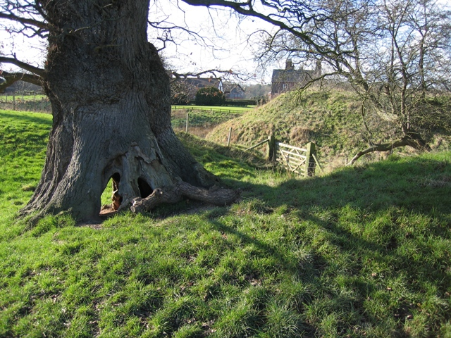 Ancient Oak by Blob Hill, Aldford