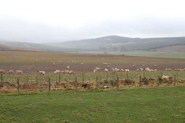Sheep feeding near Bin Forest