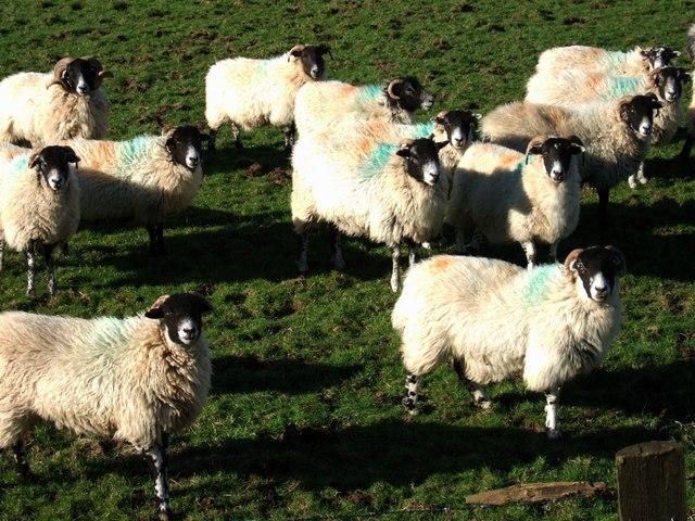 Sheep at Horseyeatt
