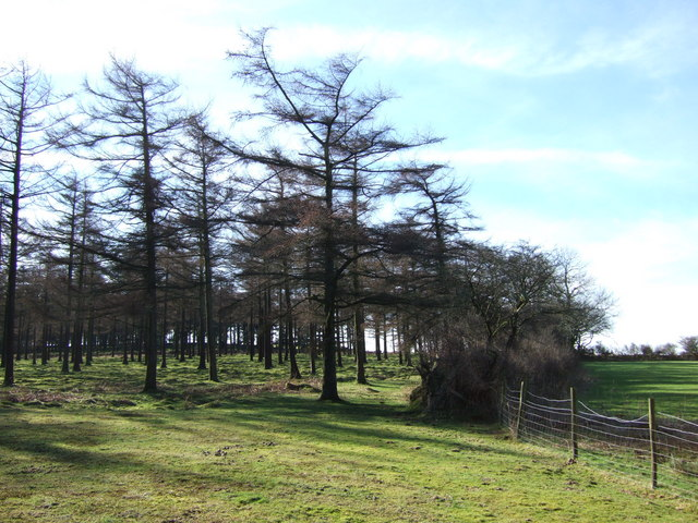 Larches at edge of Peekhill Plantation