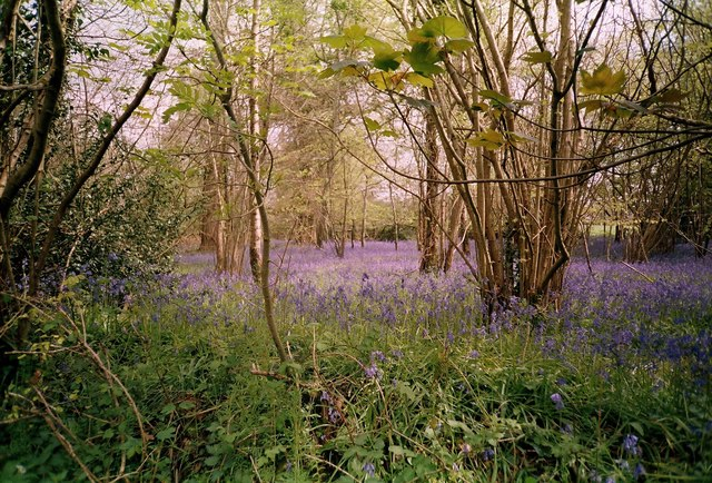 Bluebells in The Holm Bushes, Bailey Ridge near Leigh
