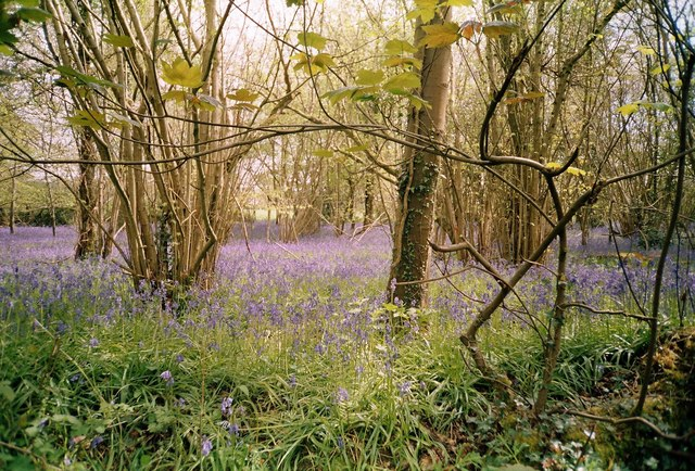 Bluebells in The Holm Bushes, Bailey Ridge, near Leigh