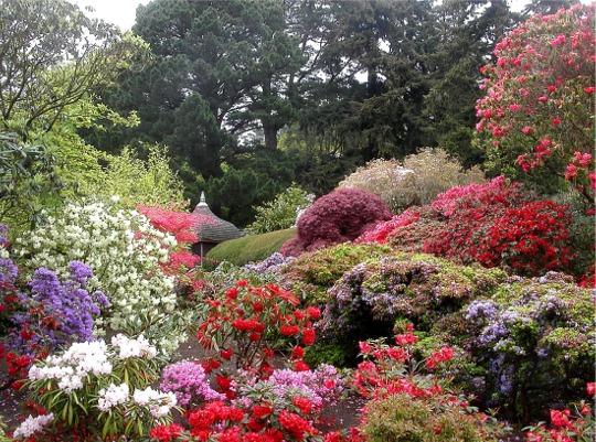 Rhododendrons and azaleas in full bloom, Bodnant Garden