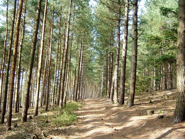 Marchwood Inclosure Pines