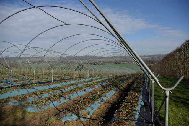 Growing Strawberries in Kent
