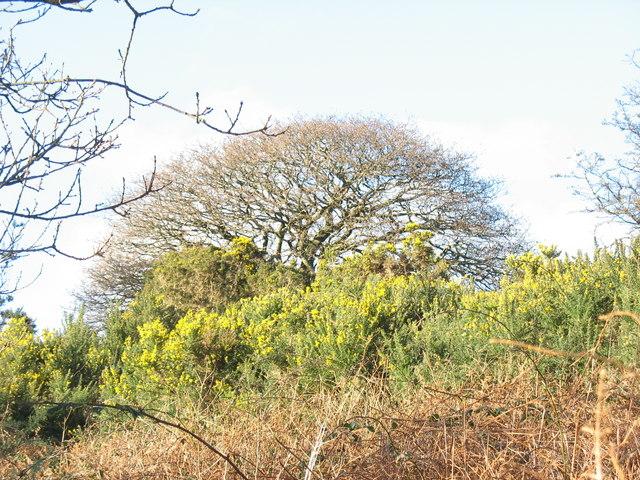 Bramble, bracken, whins and oak at Waun Hywel