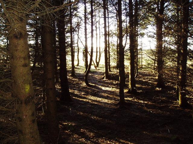 Footpath through a plantation