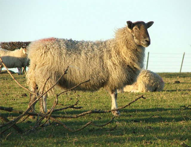 Sheep or Mule?