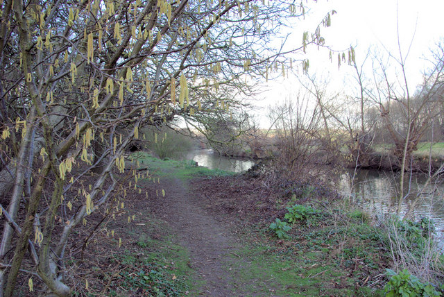 Catkins by the Towpath
