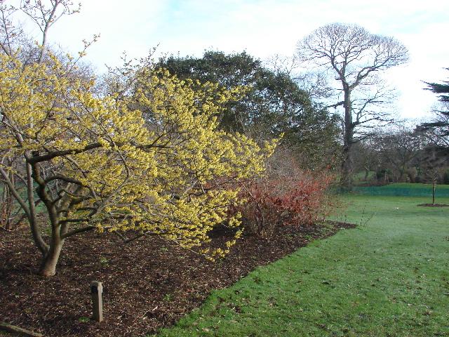 Witch hazel, Kew Gardens