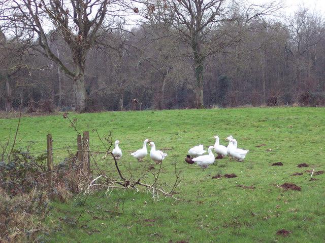 Geese at Hamptworth