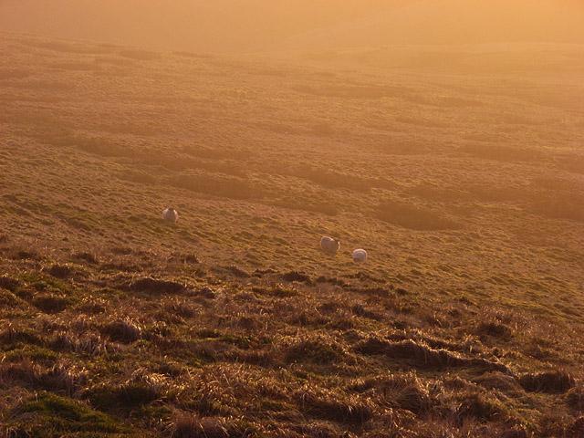 Sheep on Mickle Corum
