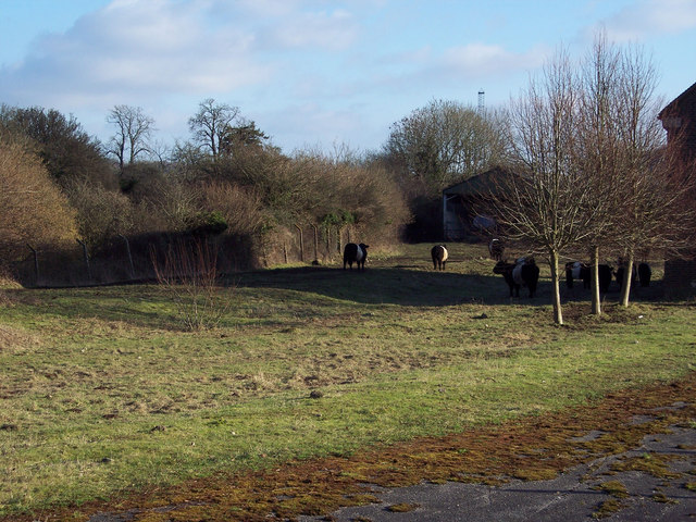Belted Galloway Cattle at RAF Chilmark