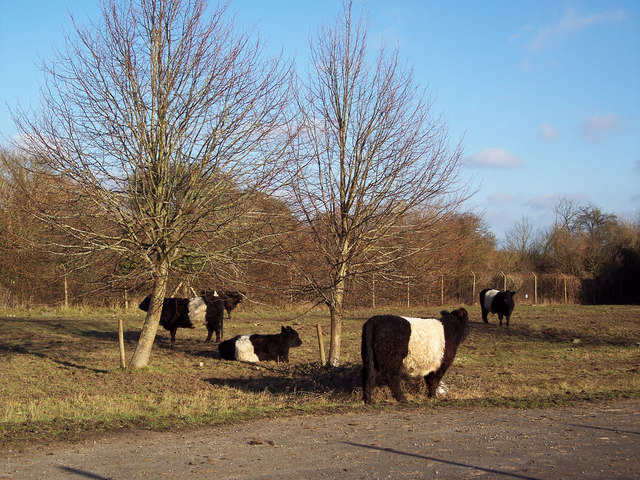 Belted Galloway cattle behind the wire at Chilmark