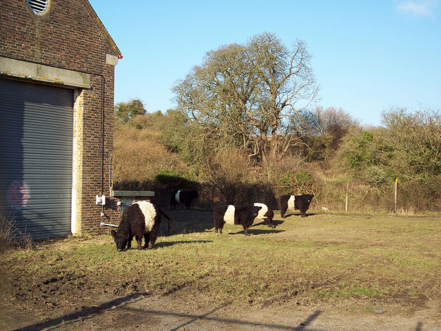 Disused Military Building and Belted Galloway Cattle