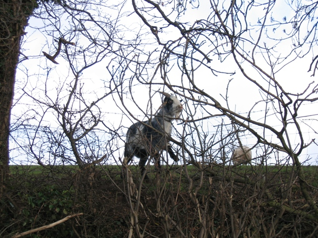 Goat in Utkinton