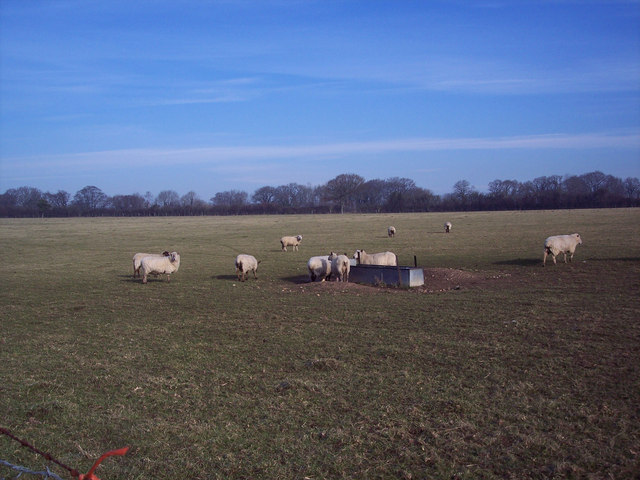 Sheep near Drove Farm, Coombe Bissett