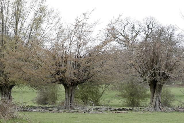 Hornbeam Pollards, Hatfield Forest, Takeley, Essex