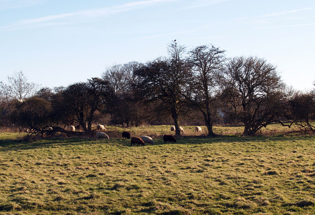 Sheep Grazing near Hornsea Mere