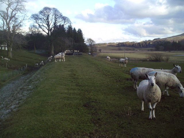 Sheep Grazing on Old Railway Line