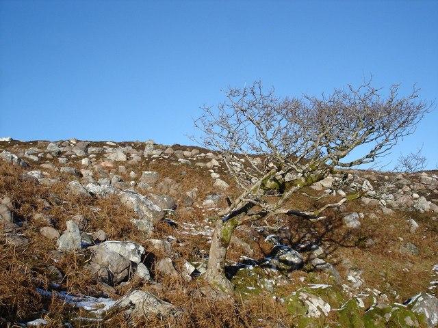 The tree on the erratic strewn hillside