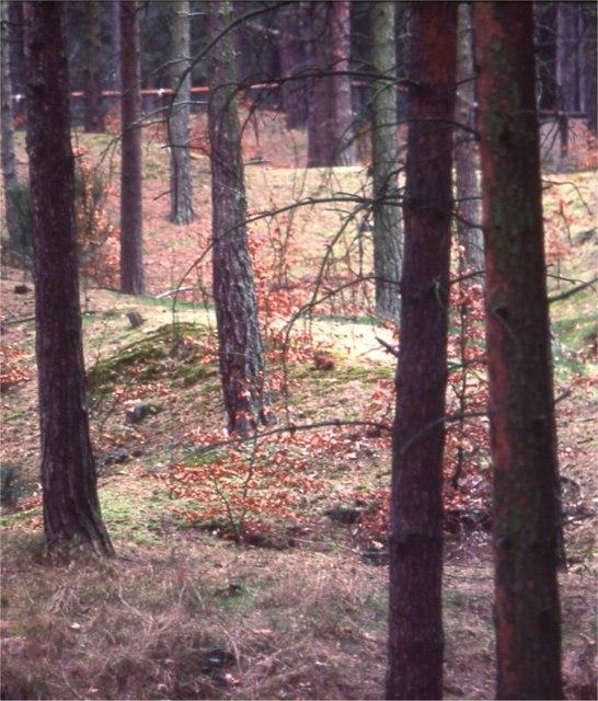 Freshfield pines