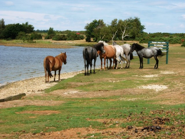 New Forest Ponies by Hatchet Pond
