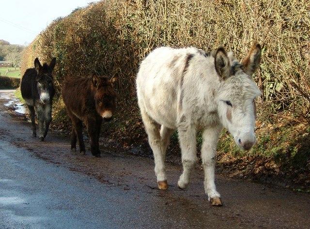 Trio of  Donkeys