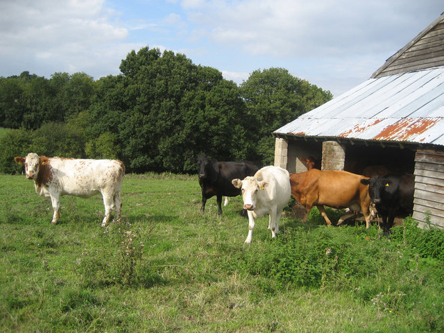 Cows near Netter's Hall, Attwaters Lane