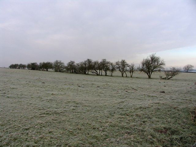 Frosty sheep in a frosty field