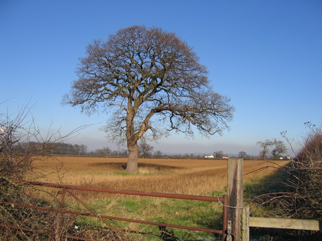 A Tree in a Cheshire Field