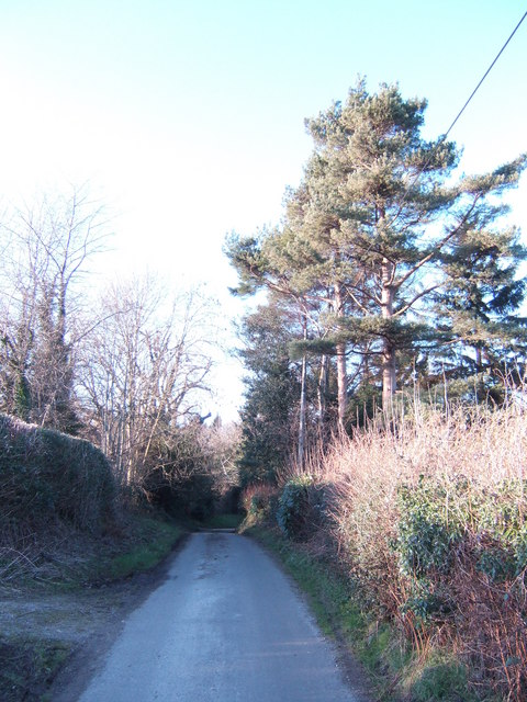 Scots Pines by Frog's Hole Lane
