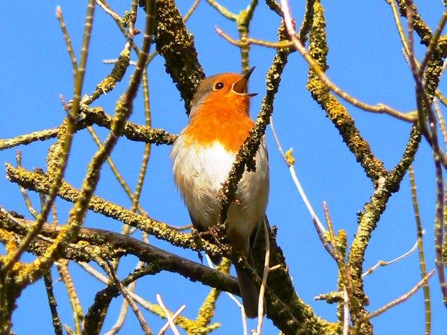 A robin in a tree, Swindon