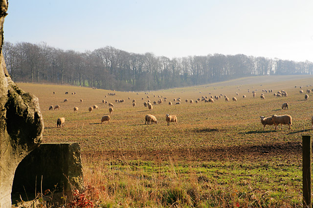 Sheep grazing in fields west of Laverstoke Lane