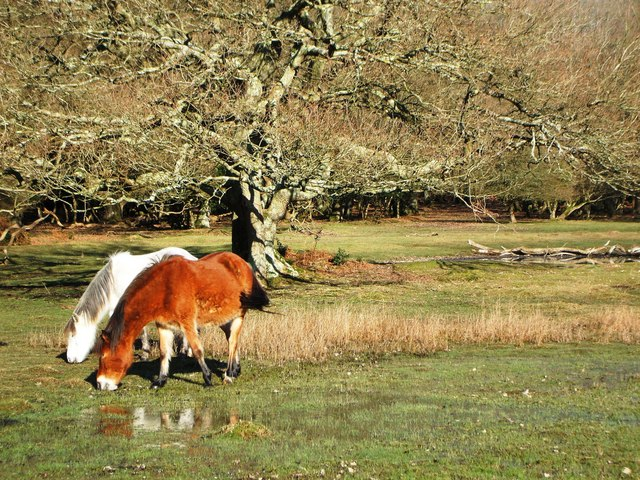 New Forest Ponies near Linford Brook