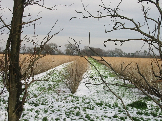 Blackcurrant bushes in the snow
