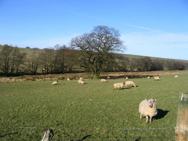 Sheep Grazing Near Wath Beck