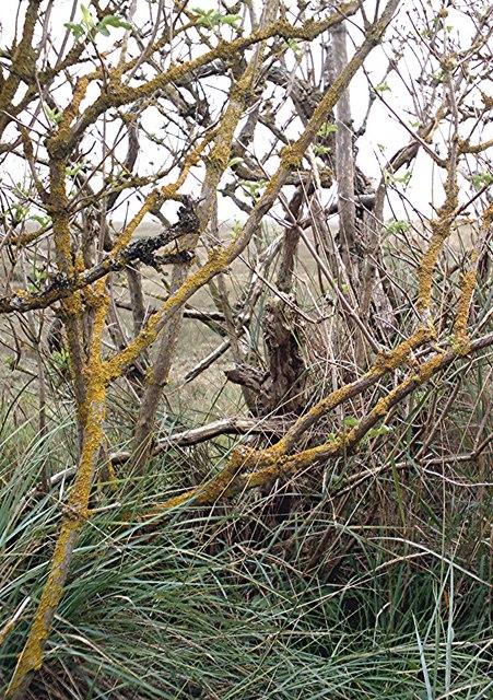 Stunted Blackthorn, Dengie seawall