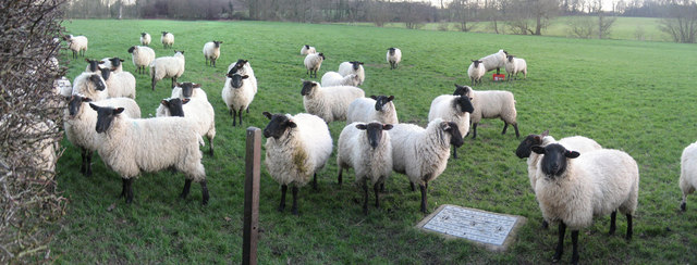 Sheep adj The Paper Mill, Hinksden Lane