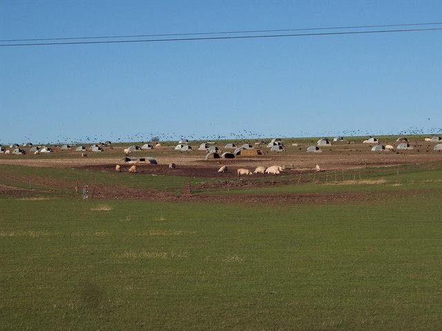 Free Range Pigs at Middle Croft Farm
